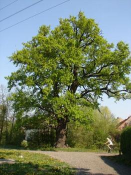 16 Dąb szypułkowy pomnik przyrody Kantorowice
