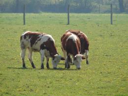 Polskie Krowy Czerwone- gospodarstwo rolne