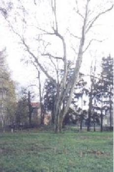 Platan klonolistny Nr 16 - Łosiów