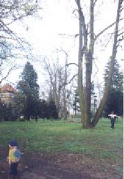 Magnolia drzewiasta Nr 18 -  Łosiów