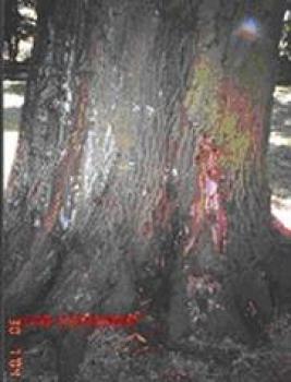 Dąb czerwony Nr 58 - Lewin Brzeski