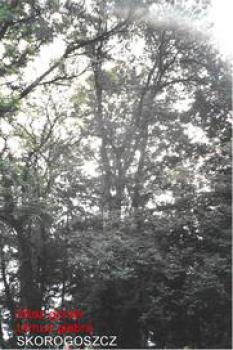 Wiąz górski Nr 37 - Skorogoszcz