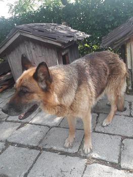 Galeria Znaleziono owczarka niemieckiego w Mikolinie