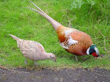 Male_and_female_pheasant,źródło pl.wikipedia.org, autor ChrisO
