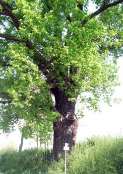 Dąb szypółkowy - jeden z wielu pomników przyrody w obrębie sołectwa